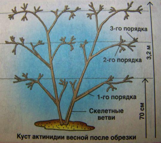Схема куста коломикты