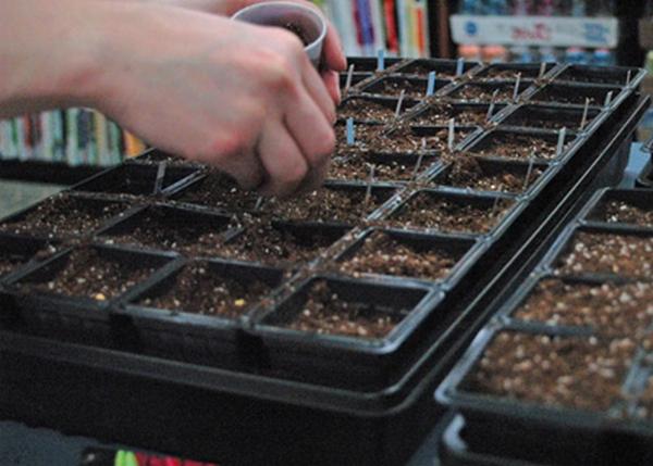 Посев семян капусты в ячейки