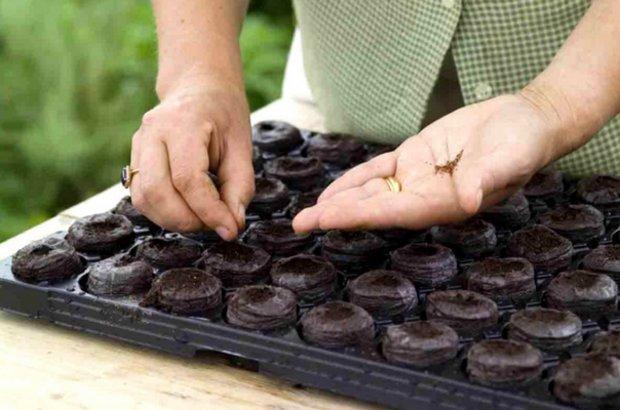 Посев семян капусты в торфяные таблетки