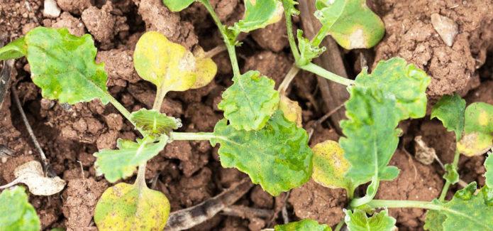 Пероноспороз на рассаде капусты
