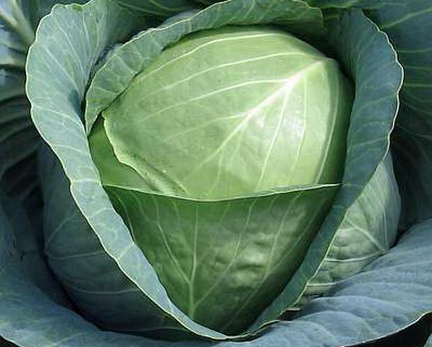 Среднеспелый сорт капусты Ринда