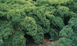 Кале Зеленый карлик