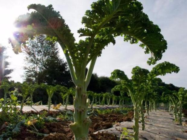 Кале-пальма