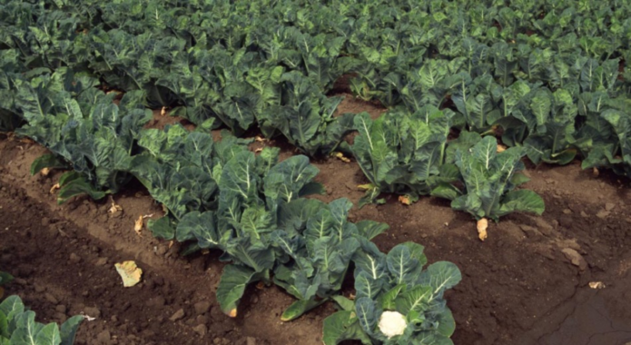 Посадки цветной капусты