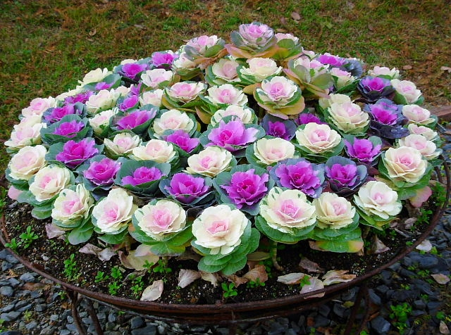 Декоративная капуста цветёт