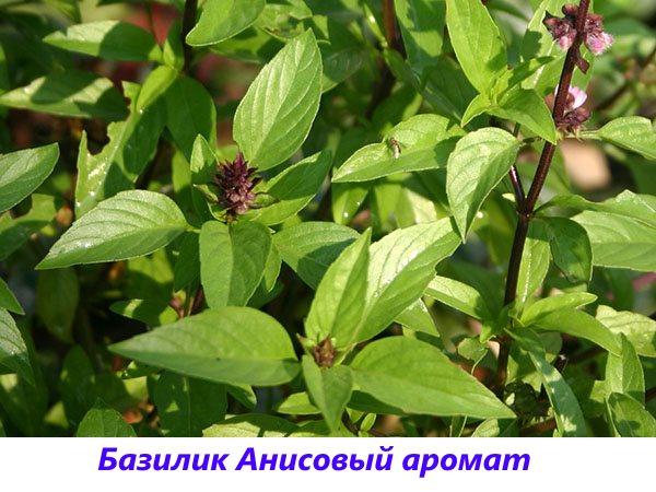 Базилик сорта Анисовый аромат