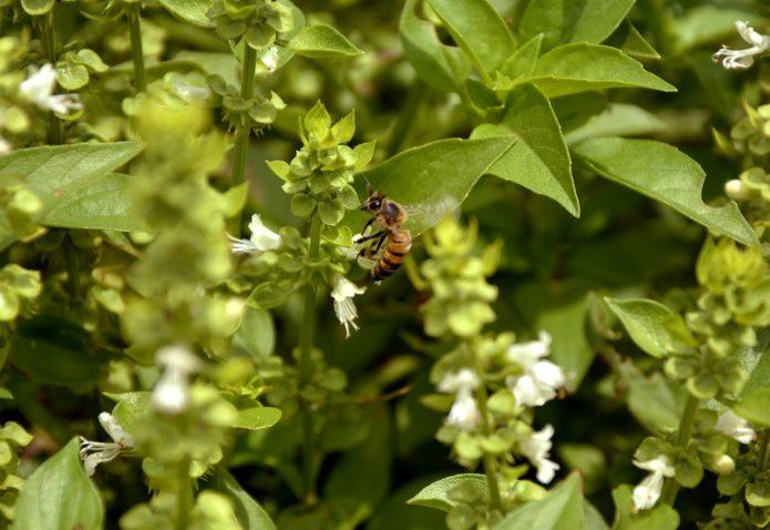 Цветы базилика и пчела