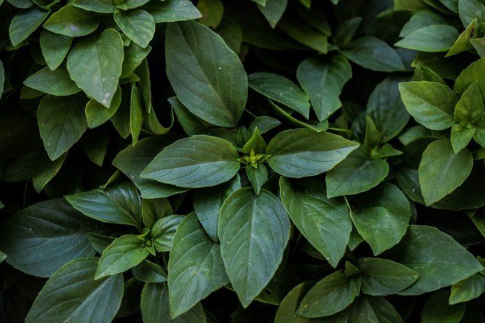 Базилик с тёмно-зелёными листьями