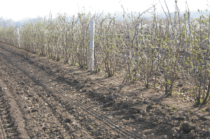 Шпалерное выращивание