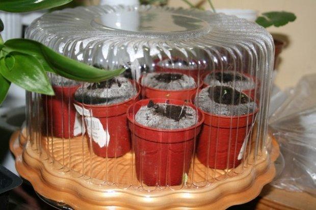 Рассада декоративной капусты в тепличке