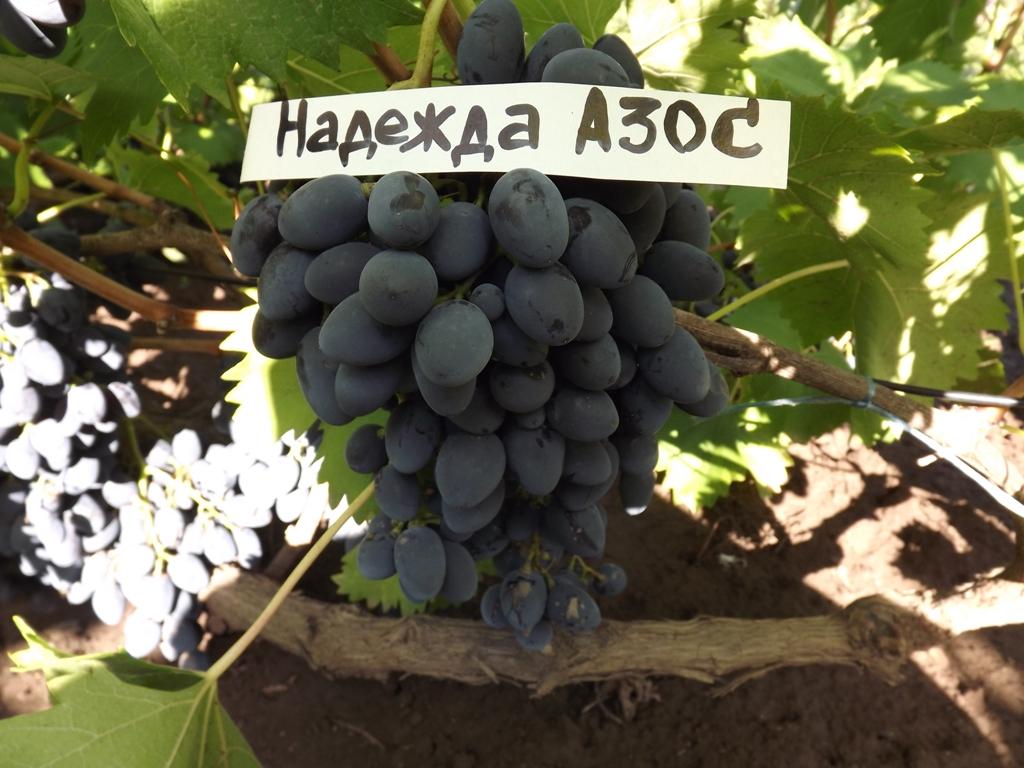 Виноград Надежда АЗОС - описание и фото сорта