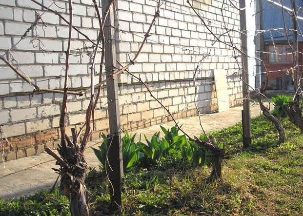 Виноградник у стены