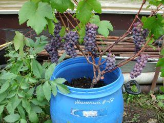 Виноград в бочках