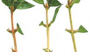 Зелёные черенки жимолости