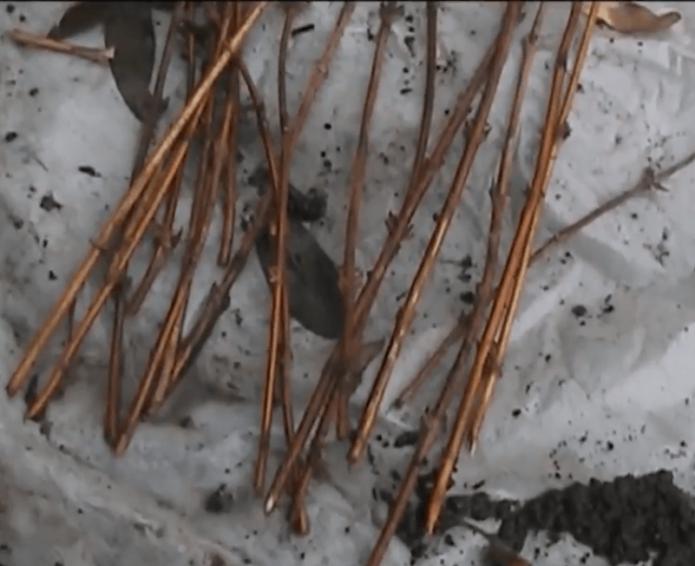 Черенки жимолости осенью