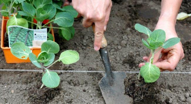 Схема посадки капусты на грядке