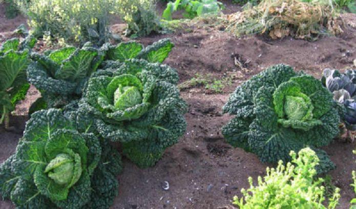 Соседство с савойской капустой