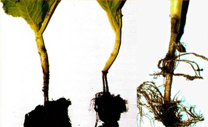 Чёрная ножка у савойской капусты