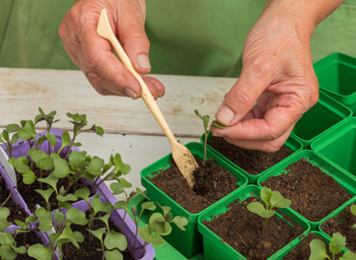 Пикировка савойской капусты