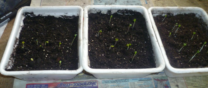 Посев семян савойской капусты в рассадник