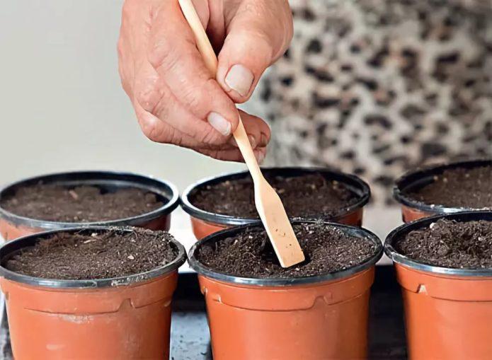 Посев семян савойской капусты в стаканчики