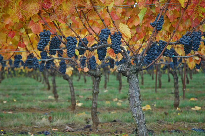 Штамбовый виноград