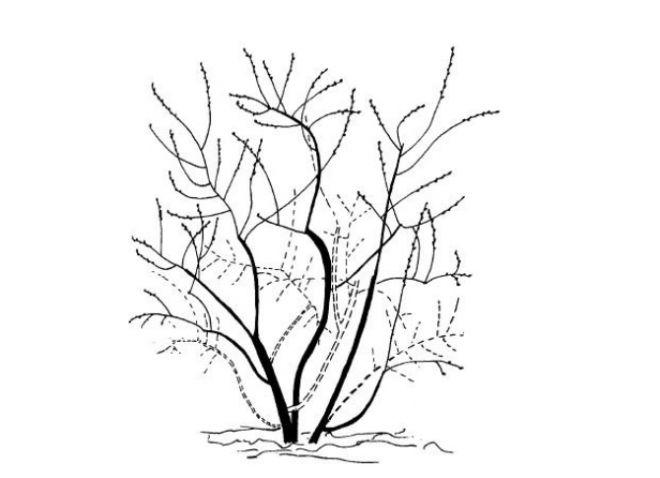Схема обрезки плодоносящего куста