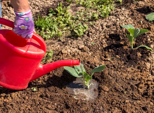 Полив лунки с капустой