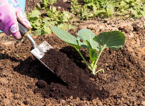 Мульчирование капустного куста