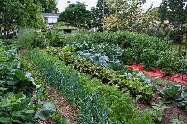 Капуста на грядке с другими овощами