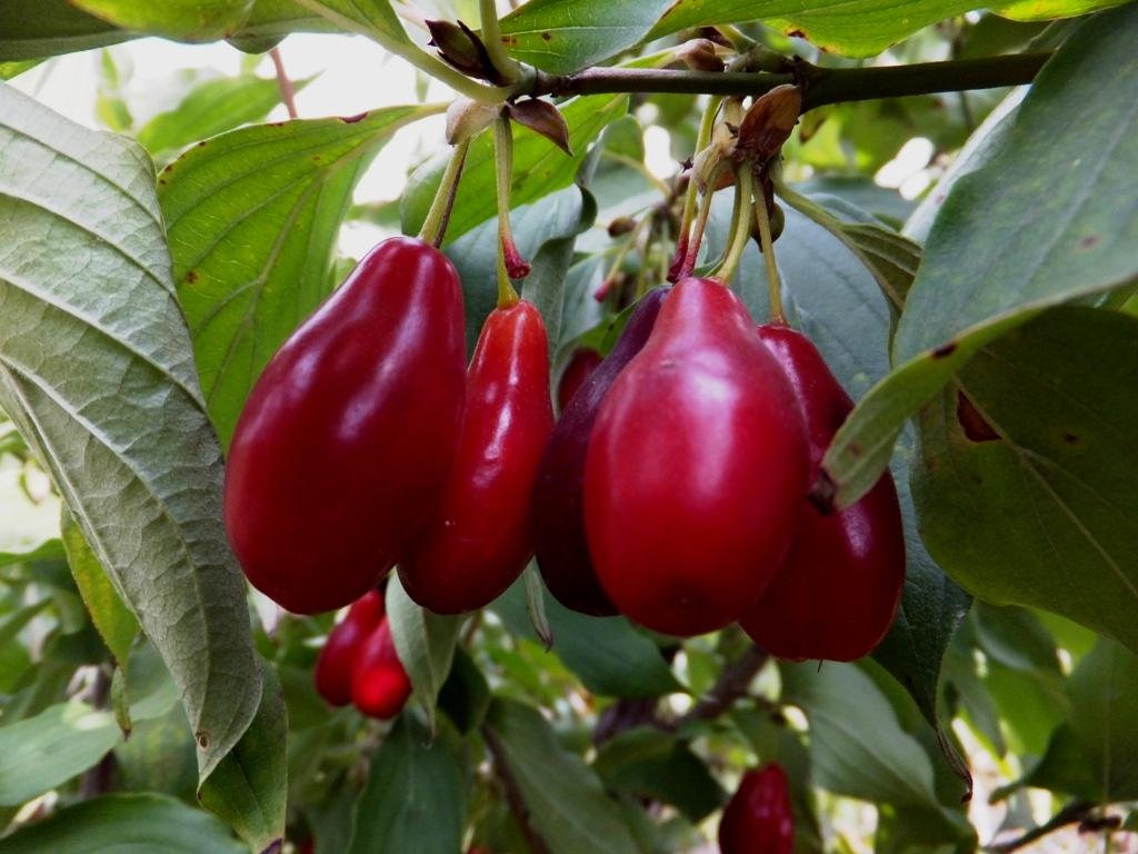 Выращивание кизила в Подмосковье: что это за растение, как его сажают, как ухаживают и какие существуют сорта