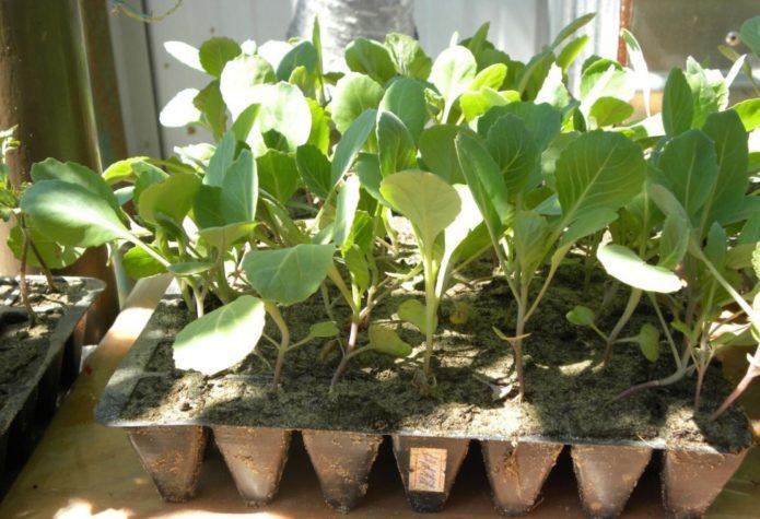 Освещение рассады савойской капусты