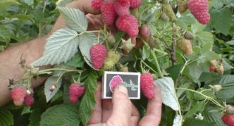 Размер ягод Патриции