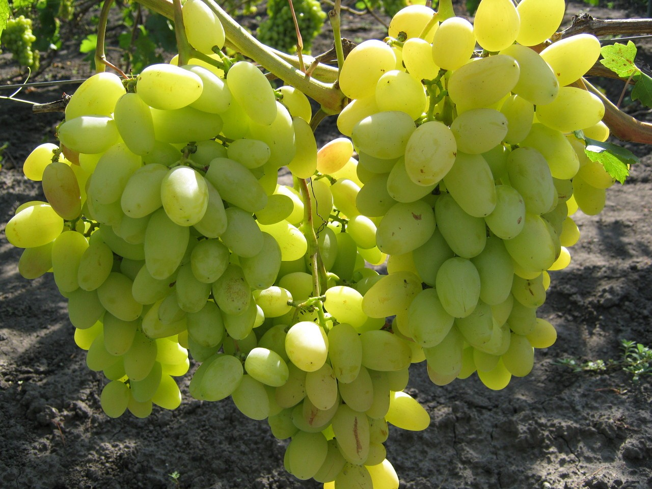 Особенности винограда сорта Аркадия