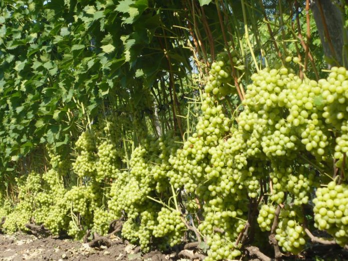 Кусты винограда Аркадия