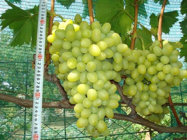 Грозди винограда Аркадия