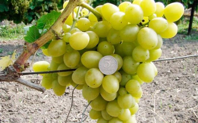Ягоды винограда Аркадия