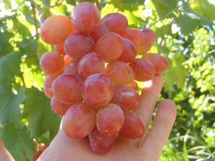 Спелая кисть винограда Анюта