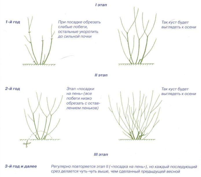 Рисунок обрезки растения