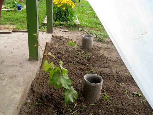 Посадка винограда у строений