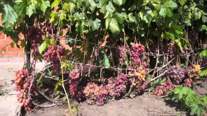 Урожай виноград Юбилея Новочеркасска