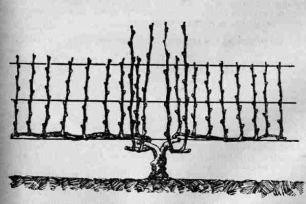 Схема двухрукавного формирования винограда