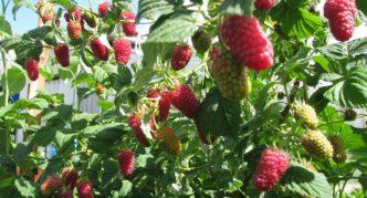 Лашка, ягоды на кусту