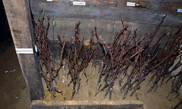 Хранение саженцев винограда зимой до посадки