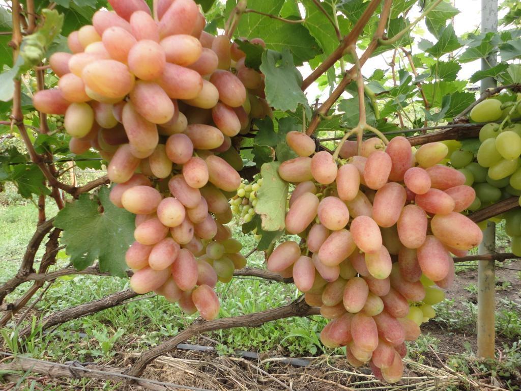 Подробное описание сорта винограда преображение
