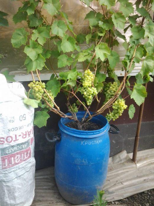 Виноград в бочке