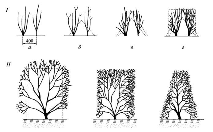 Рисунок формирующей обрезки новых посадок (I) и уже взрослых растений (II)