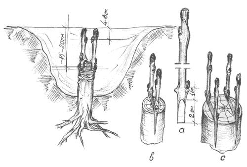 Прививка в корень
