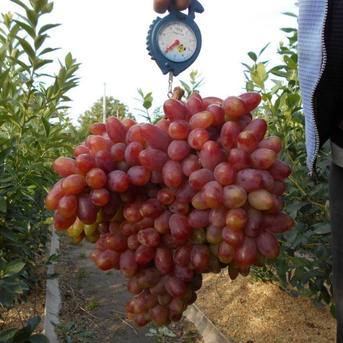 Увесистые гроздья винограда Преображение