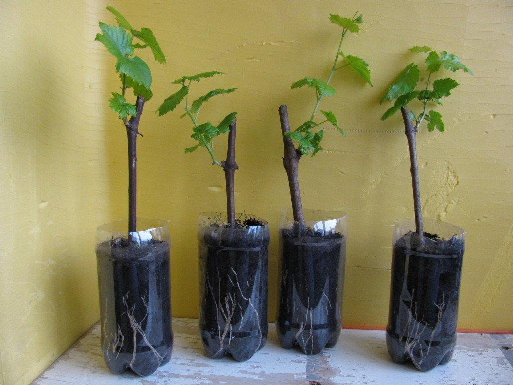 как садить виноград из черенков
